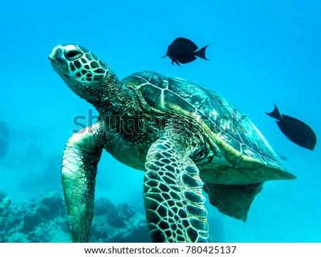 Sea Turtle, Oahu Hawaii #780425137