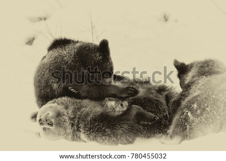 Brown Bears (Ursus arctos) in Lake Clark National Park, Alaska, USA #780455032