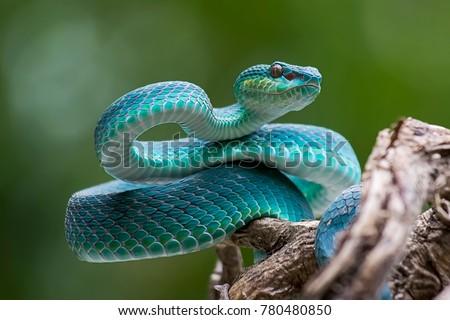 blue viper, venomous and poisonous snake