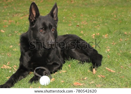 Bahno, Czech Republic - December 9, 2017: A big black dog (German Shepherd) with big brown eyes lies on green grass with daisy and leafes at sunny day. His toy (white ball with  rope) is on his paw. #780542620