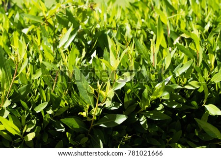 bright green hedge small leaves #781021666
