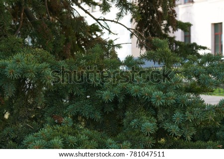 Spruce branches on a green background. Picea Abies #781047511
