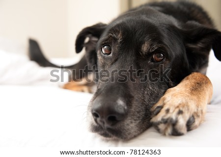Closeup of Black Shepherd Mix Face in Bed #78124363