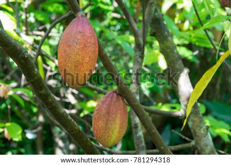 Royalty high quality free stock image of  close up of yellow-orange cacao cocoa fruit or pod in the sunny day on Theobroma cacao tree. Theobroma cacao also called the cacao tree and the cocoa tree #781294318