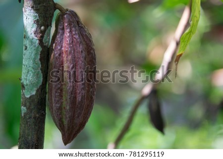 Royalty high quality free stock image of  close up of yellow-orange cacao cocoa fruit or pod in the sunny day on Theobroma cacao tree. Theobroma cacao also called the cacao tree and the cocoa tree #781295119