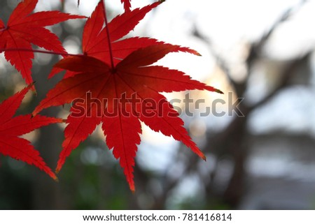 Red maple tree leaves in a park in Chiba City, Japan in late December.  #781416814