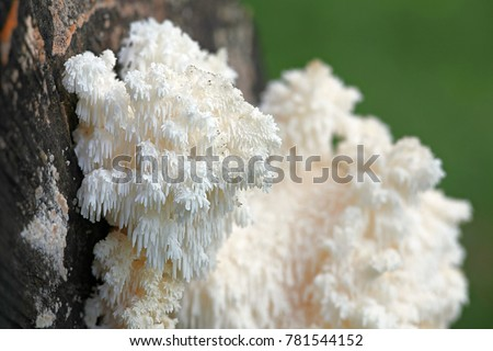 Coral tooth fungus, Hericium coralloides, also known as monkey's head, lion's mane, and bear's head, is a traditional and highly  appreciated medicinal fungus.  Royalty-Free Stock Photo #781544152