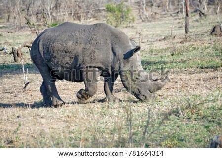 White rhino in Kruger National Park, South Africa #781664314