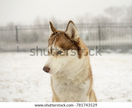 Snow is falling on a beautiful Siberian Husky. Winter is falling upon the head of this young dog. #781743529