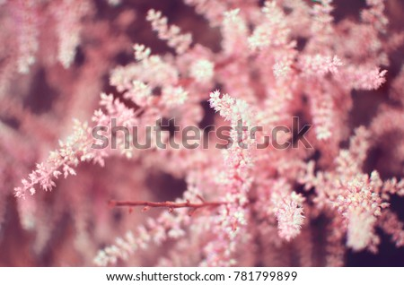 toned background image of a blossoming astilbe #781799899