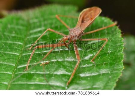 Leafhopper assassin bugs