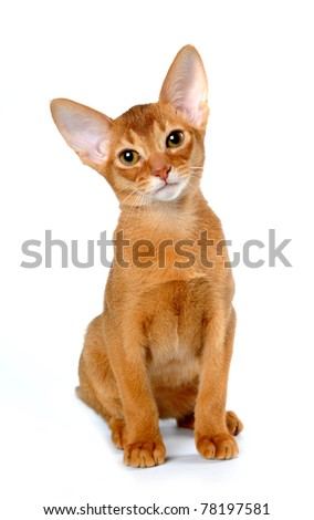 Red abyssinian kitten sits and curiously looking at camera isolated on white Royalty-Free Stock Photo #78197581