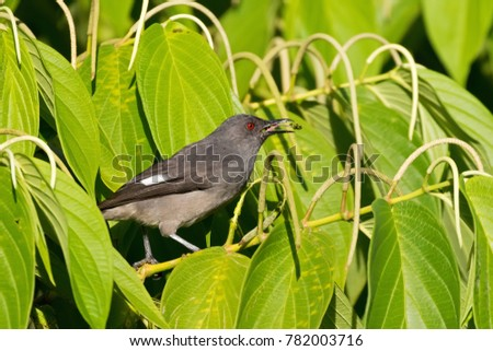 Long-tailed sibia gray bird feeding on long pepper at Fraser's Hill, Malaysia, South east Asia (Heterophasia picaoides)  #782003716