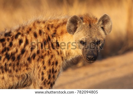 The spotted hyena (Crocuta crocuta) also known as the laighing hyena in tne bush. Hyenas portrait.