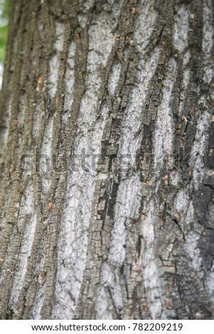 Acer saccharinum bark close up #782209219