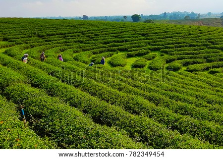 The green tea plantations with many farmers. The scenery of organic green tea field that grown in the Chiang Rai hill in morning light. #782349454