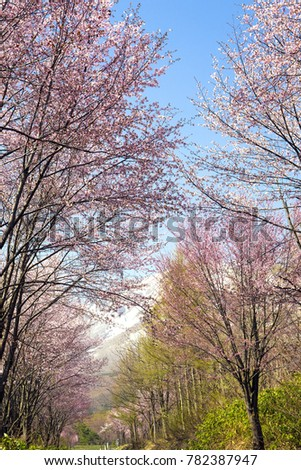 Avenue of a pink wild cherry tree (lengthwise composition) #782387947