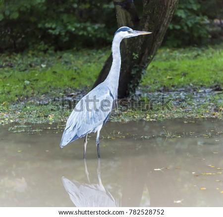 Grey Heron in Vondelpark, Amsterdam. #782528752