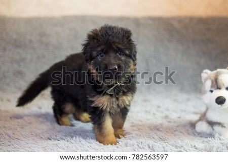 puppies German shepherd #782563597
