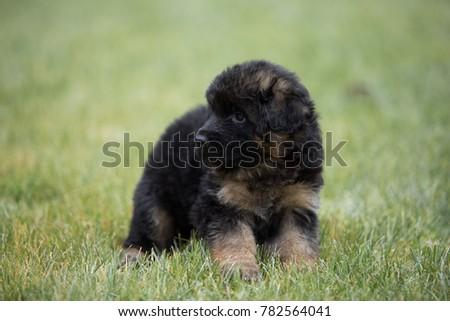 puppies German shepherd winter #782564041