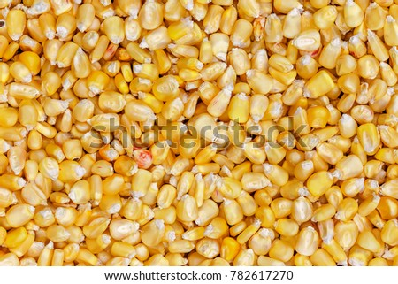 Corn texture. Yellow corns as background. Corn vegetable pattern. Background of bulk of yellow corn grains. Shiny corns. Sweet corn ears background #782617270