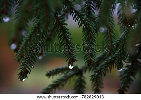 Beautiful spruce with drops. Close up. #782829013