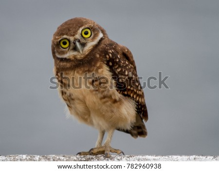 The lucky owl for the new year. Burrowing owl. Athene cunicularia. The large yellow owl eyes.