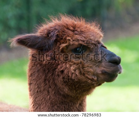 Portrait of brown Llama against a blurred background. This Llama lives in a small park in the center of the Dutch village of Den Hout (North-Brabant). #78296983