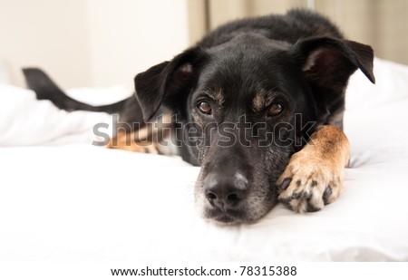 Black Shepherd Mix Sleeping in Bed #78315388