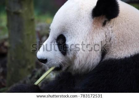 Giant panda profile