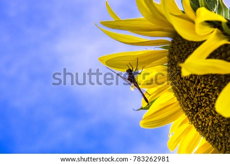 Beautiful sunflower with background blue sky. #783262981