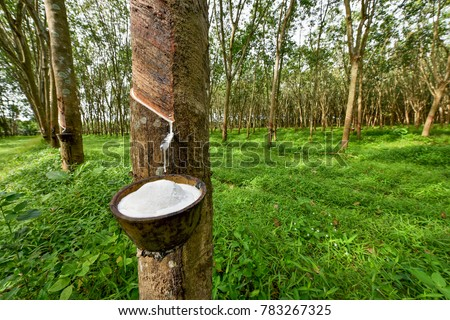 Rubber tree and bowl filled with latex. #783267325