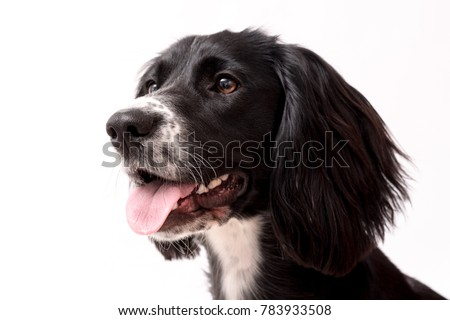 A black and white Sprocker Spaniel dog isolated against a white background. The Spocker Spaniel is a cross breed between a Springer Spaniel and a Cocker Spaniel. #783933508