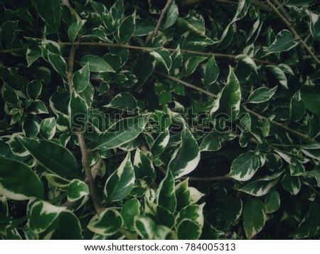 Natural background images for the background, dark green leaves and shiny black. #784005313