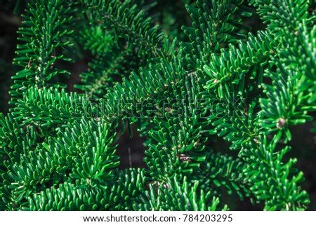 Fir branches - Xmas Holidays Background. Filled full frame picture. Natural fresh green pattern with lush green fir-needle. Many crossing intersecting twigs with green needles under bright sun.