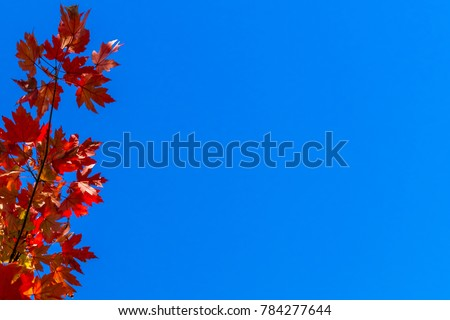 Autumn Colored Maple Leaves against rich, blue background.