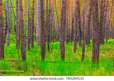 beautiful green fresh pine tree forest scene #784284535