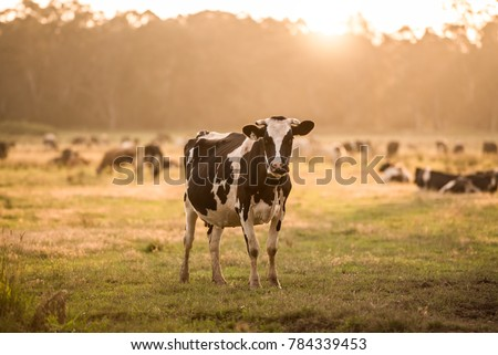Black and white dairy cow grazing in a field  #784339453