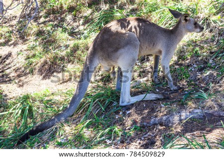Eastern Grey Kangaroo at Amity Point Lookout Walk #784509829