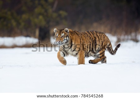 Siberian tiger (Panthera tigris tigris) also called Amur tiger. The tiger is reddish-rusty, or rusty-yellow in color, with narrow black transverse stripes. #784545268