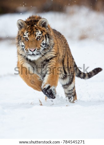 Siberian tiger (Panthera tigris tigris) also called Amur tiger. The tiger is reddish-rusty, or rusty-yellow in color, with narrow black transverse stripes. #784545271