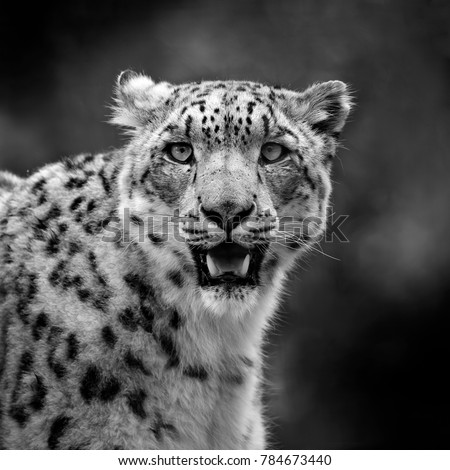 Black and white snowy leopard carnivore head portrait with mouth open showing teeth #784673440
