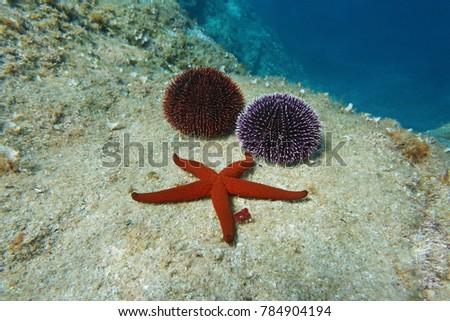A Mediterranean red sea star with two sea urchins underwater on a rock, Spain, Costa Brava, Catalonia, Cap de Creus Royalty-Free Stock Photo #784904194