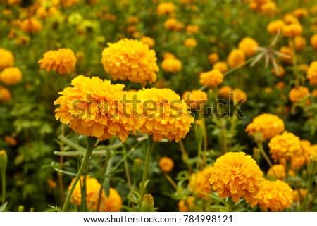 Lots of beautiful marigold flowers in the garden #784998121