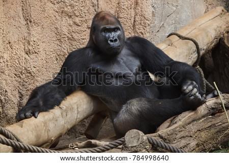 Western lowland gorilla (Gorilla gorilla gorilla). #784998640
