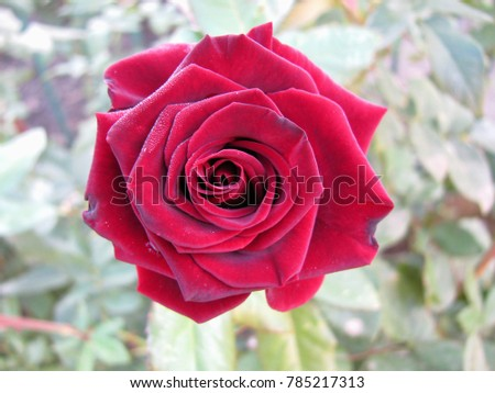 Large red rose. Closeup of fresh red rose. Rose with focus the centre of rose flower. #785217313