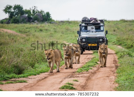 Lionesses walk along the road against the backdrop of a car with tourists. Africa.  Royalty-Free Stock Photo #785307232