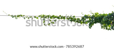 Ivy plant with wire electric isolate on white background #785392687