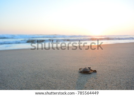 Baby turtle doing her first steps to the ocean. This is the beach of Playa Azul, in Lazaro Cardenas, Mexico #785564449