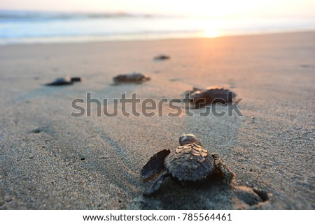 Baby turtles doing their first steps to the ocean. This is the beach of Playa Azul, in Lazaro Cardenas, Mexico #785564461